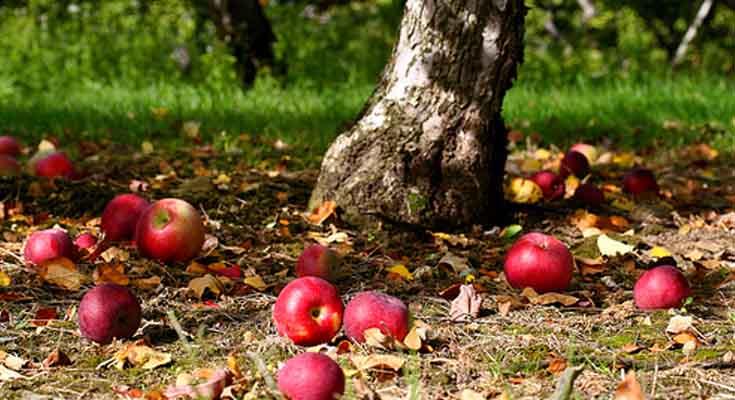 Recoge la Fruta Caída